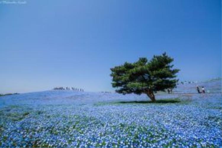 """""""Thiên đường hoa"""" là mỹ từ mà khách du lịch đặt cho công viên Hitachi - nơi từng là một bãi tập ném bom của quân đội Mỹ."""