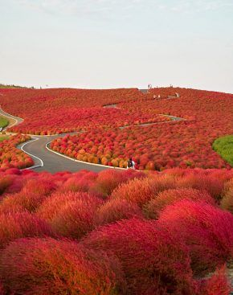 Vào mùa thu, những con đường ở công viên Hitachi lại một lần nữa đổi màu, tạo nên một quang cảnh ngoạn mục cho những ai say đắm vẻ đẹp của thiên nhiên. Để đến được công viên này, du khách mất khoảng 2 giờ đồng hồ đi lại bằng phương tiện công cộng từ thủ đô Tokyo. Khá lâu để có thể tận mục sở thị thế nhưng nơi đây vẫn hút du khách bậc nhất trong số các điểm du lịch tại Nhật Bản.