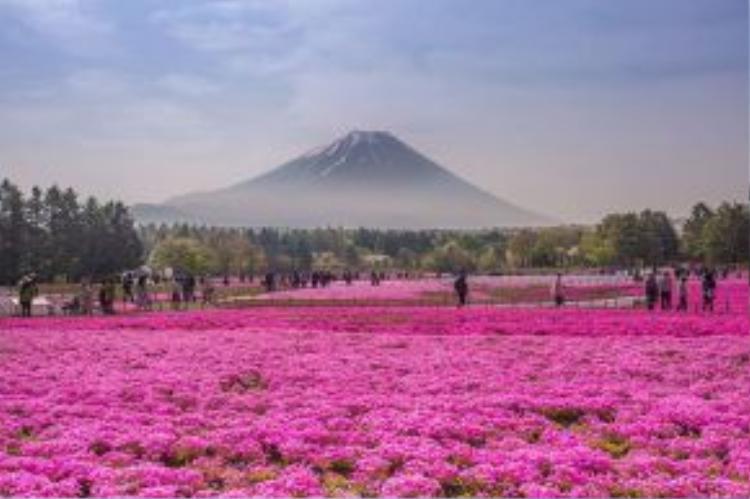 """Đến hẹn lại lên, lễ hội hoa Fuji Shibazakura Festival được tổ chức, đem đến cho nền du lịch Nhật Bản một lượng khách khổng lồ. Từ giữa tháng 4 đến đầu tháng 6, thảm hoa kéo dài bất tận đến chân núi Phú Sĩ khiến du khách bị """"choáng"""" trong sắc hồng tươi khi đâu đâu cũng thấy sự hiện diện của loài hoa Shibazakuza này."""