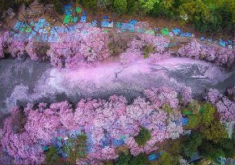 Cứ đến mùa hoa anh đào, du khách quốc tế lại nườm nượp kéo đến Nhật Bản bằng mọi giá để tận hưởng giây phút chìm đắm trong sắc hồng dịu dàng của loài hoa này.
