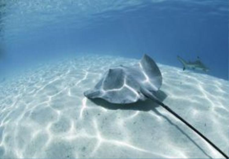 Trong khi lặn dưới hồ Lagoonarium de Moorea, du khách có thể dễ dàng bắt gặp cá đuối và cá mập cũng như nhiều loài cá khác.