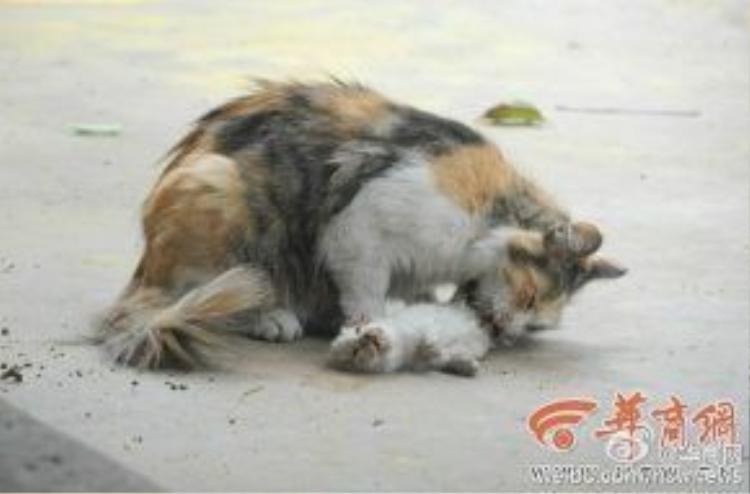 Hình ảnh mèo mẹ cố gắng lay đánh thức con dậy