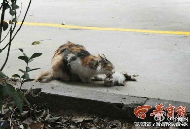 Xúc động hình ảnh mèo mẹ cố lay mèo con đã chết tỉnh dậy