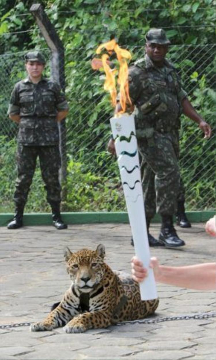 Có lẽ con báo gấm bị kích động bởi đám đông và ngọn lửa từ cây đuốc trên tay VĐV