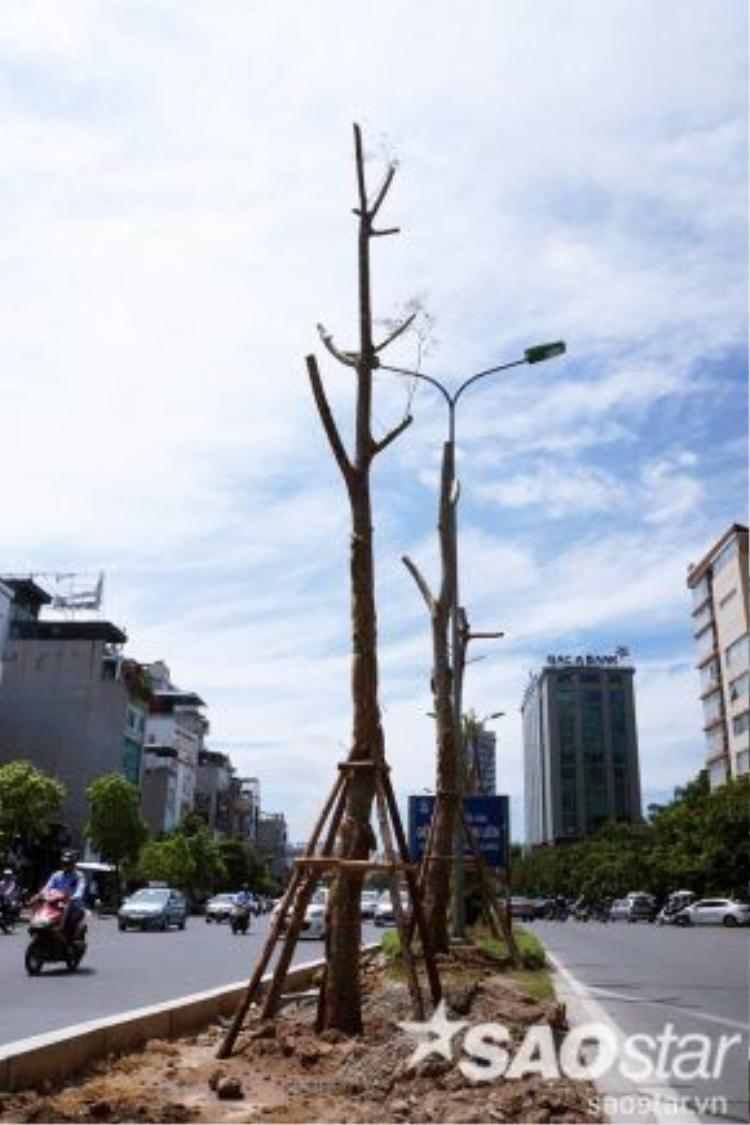 Thân cây có vỏ thân màu xám trắng, nhẵn và thẳng đứng, phân thành nhiều cành lớn.