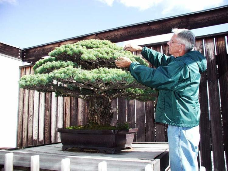 Hiện cây Bonsai này đang sống trong một viện bảo tàng tại Mỹ và được chăm sóc rất kỹ lưỡng.