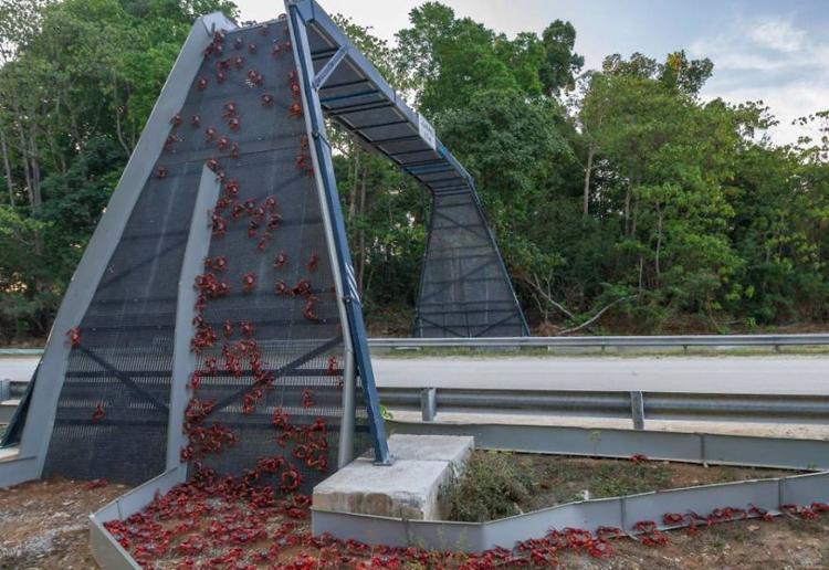 Cây cầu dành riêng cho hàng triệu con cua đỏ đến thời kỳ sinh sản tại đảo Giáng Sinh, Australia.