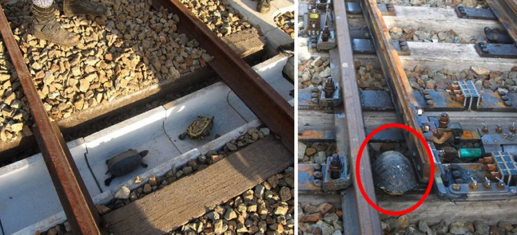 Chính quyền tại Nhật Bản đã thiết kế riêng làn đường cho những chú rùa băng qua đường ray xe lửa tại công viên Suma Aqualife.
