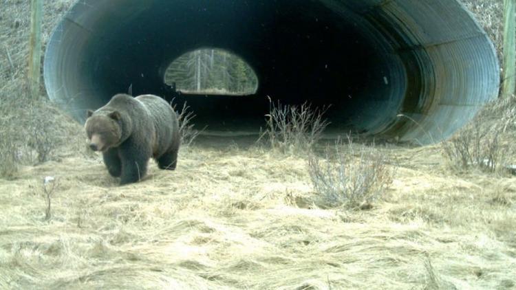 Đường hầm được tạo ra bến dưới tuyến đường cao tốc Canada là khu vực di chuyển của những chú gấu xám tại Vườn quốc gia Banff (Alberta, Canada).