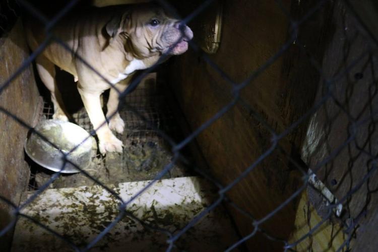 Bạo hành hơn 60 chú chó, hai người Việt bị bắt khẩn cấp ở Mỹ