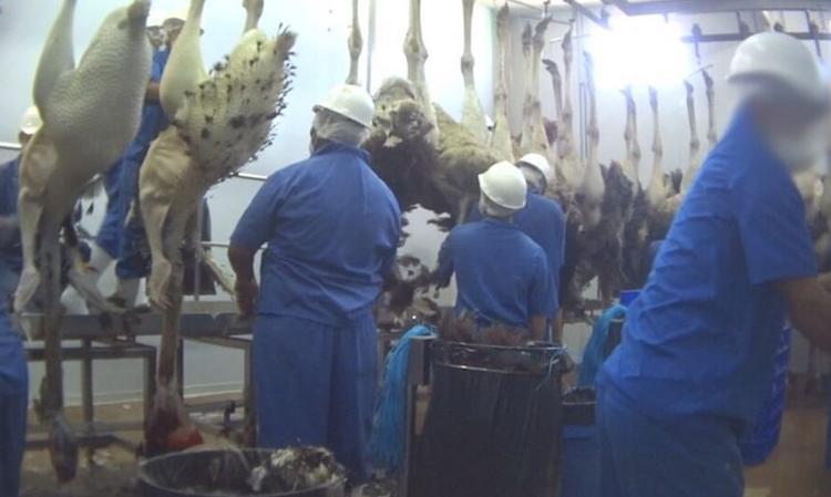Những sợi lông được vặt ra khi những chú đà điểu còn đang giãy giụa sẽ được sản xuấtthành trang phục trong các lễ hội, điển hình là vũ hội của người Brazil.