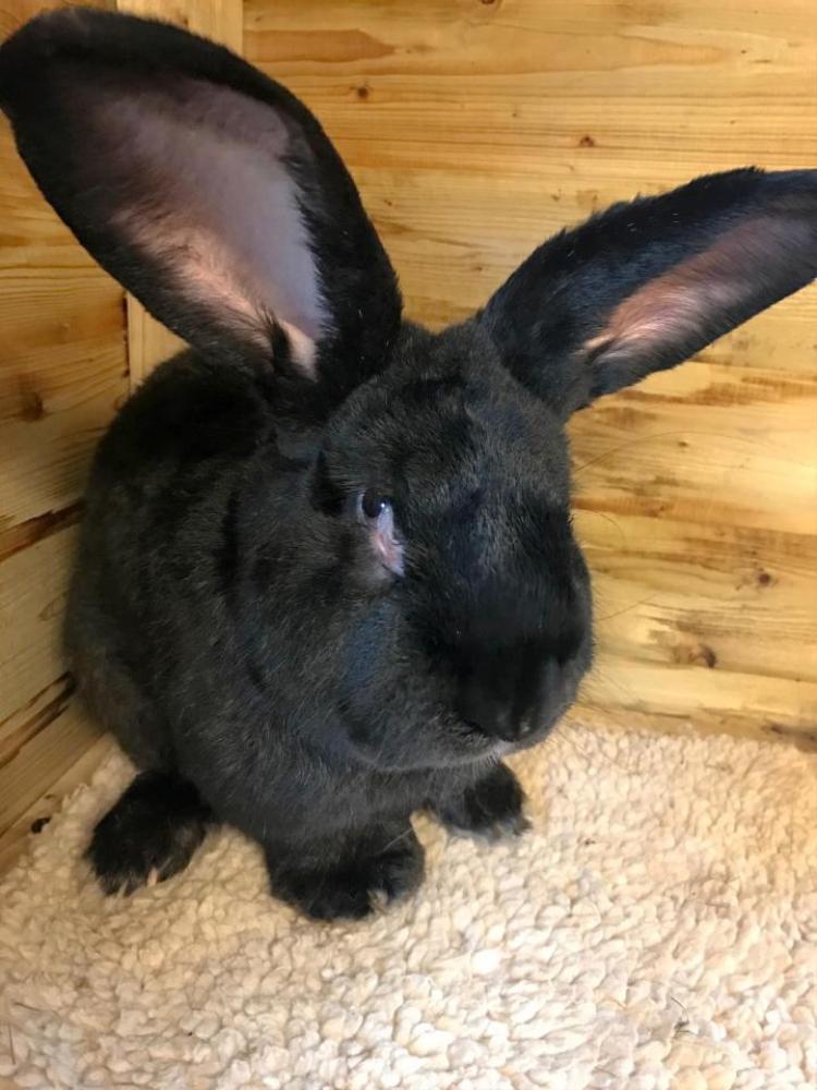 Simon, chú thỏ dài gần 1m được cho là đã chết trên máy bay United Airlines.