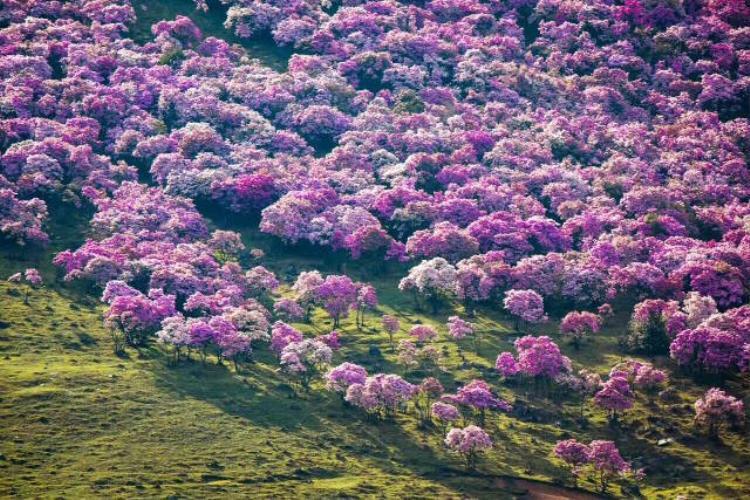 Đồi hoa đỗ quyên bỗng chốc hoá đồi trọc vì sự hồn nhiên của khách Trung Quốc