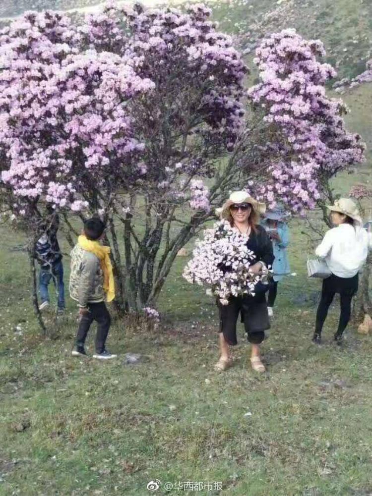 Từng hàng cây đỗ quyên cứ thế mà dần trơ trọi vì các chị em tiện tay bẻ cành lấy hoa làm duyên làm dáng.