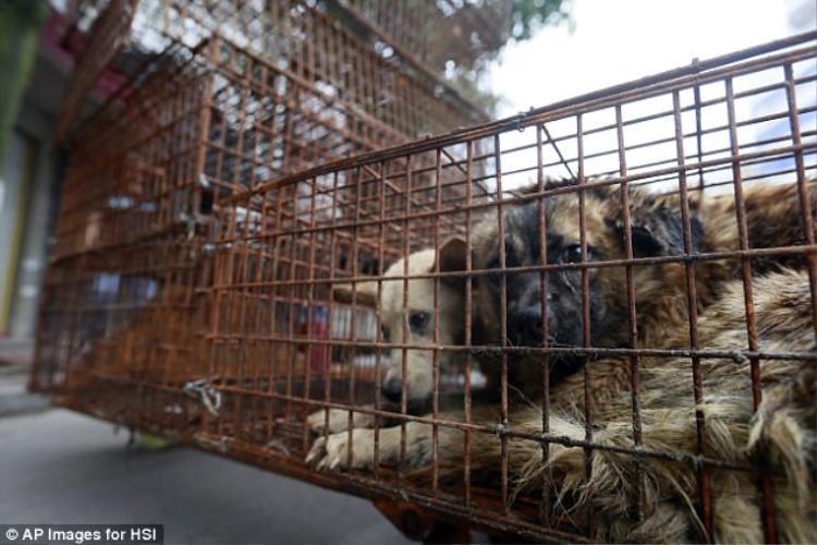 Trung Quốc: Cấm giết mổ và tiêu thụ chó tại lễ hội thịt chó lớn nhất đất nước