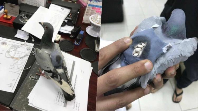 Chú chim bồ câu cõng hơn 200 viên thuốc lắc trên lưng.