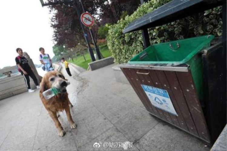 Sau khi bơi ra sông nhặt rác, chú chó chạy đến cho vào đúng nơi.