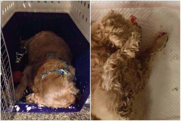 Charlie, chú chó đã qua đời trong khi được chuyển sang máy bay của hãng Hàng không Singapore tại sân bay Changi.