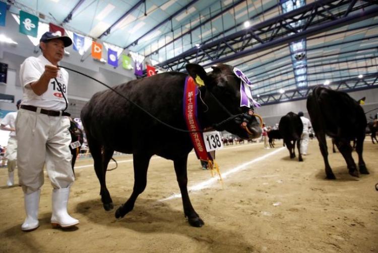 Ông chủ đang đưa chú bò của mình đi diễu hành trong sân thi đấu.