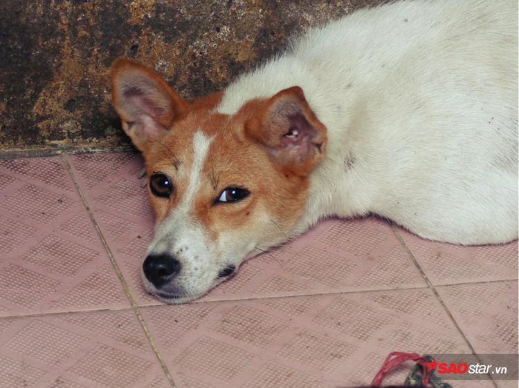 Vẻ mặt ủ rũ của chú chó khi nằm bẹp dưới sàn nhà.