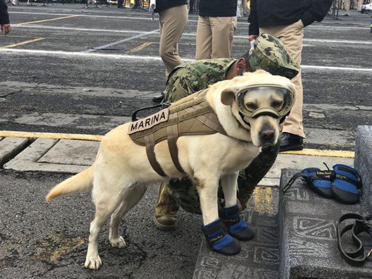 Frida Labrador đang giúp giải cứu những nạn nhân của trận động đất khủng khiếp vừa qua.