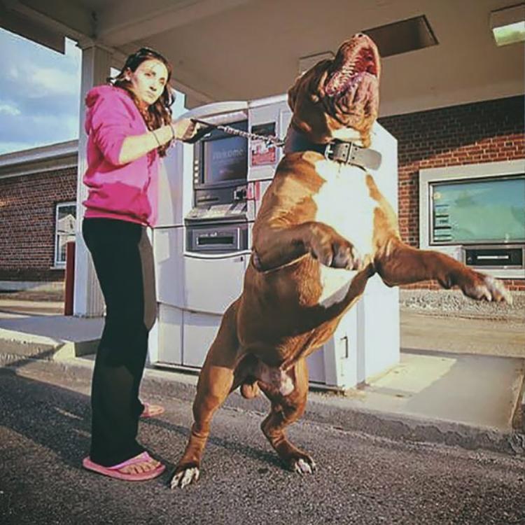 Bật cười trước kiểu tỏ vẻ nguy hiểm của lũ chó khi canh gác cho chủ rút tiền