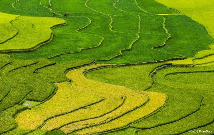 Những thảm lúa dài uốn lượn đẹp tựa bức tranh ở Mù Cang Chải vào ngày đầu tháng 10/2017. Anh Tuấn Đào.