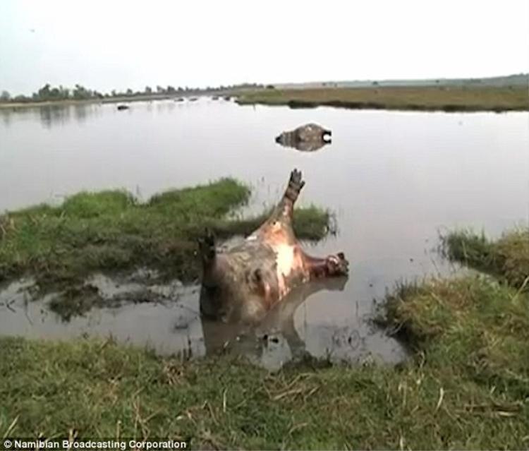 Hàng trăm con hà mã chết trương phình nổi trên mặt nước, nghi do dịch bệnh