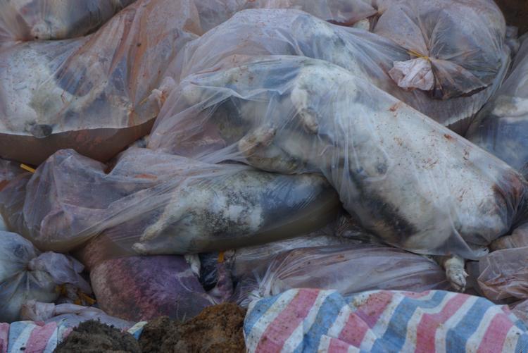 Xác lợn chết được cho vào túi nilon buộc kín trước khi chôn lấp