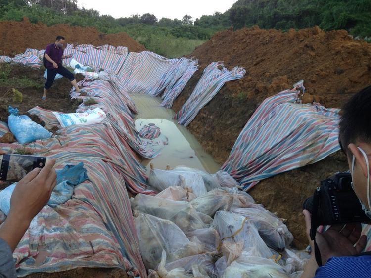 Số lợn chết được đưa về đồi Mành (thuộc phân trại 3) để chôn lấp.
