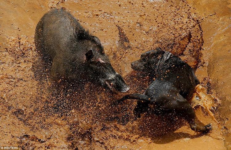 """Cuộc thi đấu giữa """"đấu sĩ"""" động vật là là một hoạt động thường niên của người dân ở làng Chikawao, thuộc đảo Java, Indonesia.Giải thưởng của quán quân có thể lên tới 2.000 USD. Người dân địa phương cho biết những trận chiến được tổ chức nhằm mục đích bảo tồn truyền thống săn bắn nơi đây."""