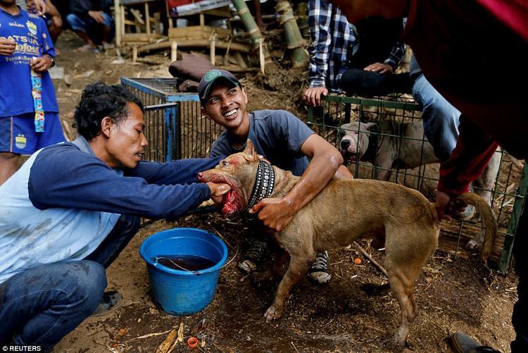 Tuy nhiên, tập tục này vấp phải sự phản đối từ các nhóm bảo vệ quyền động vật, những người kêu gọi cấm hoàn toàn cuộc thi vì cho rằng đây là hành động tội ác chống lại động vật.