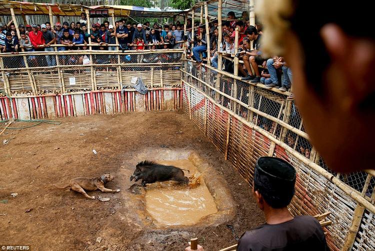 """Những trận chiến được diễn ra trong một """"đấu trường"""" có kích thước 15 x 30 mét, được bao quanh bởi hàng rào tre để bảo vệ khán giả. Nó sẽ chỉ kết thúc khi một trong hai con vật bị thương."""
