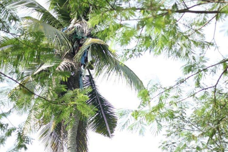 Người đàn ông ở lì trên cây dừa 3 năm không chịu xuống, dân làng đành chặt cây giải cứu