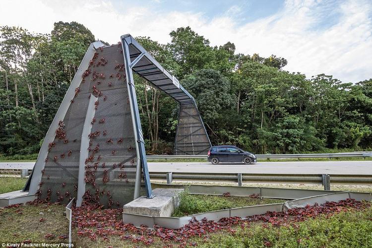Loài cua không ngại thử thách với chiếc cầu qua đường cao chót vót.