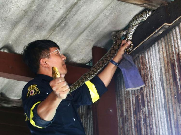 """Lính cứu hoả Phinyo mất chưa đầy một phút để tóm gọn một con trăn dài 2m ẩn náu trên mái nhà. Hiện tại, anh Phinno đã quen với """"công việc mới"""" này và có thể nhận biết hầu hết các loại rắn, cũng như hướng dẫn người dân cách xử lý chúng."""