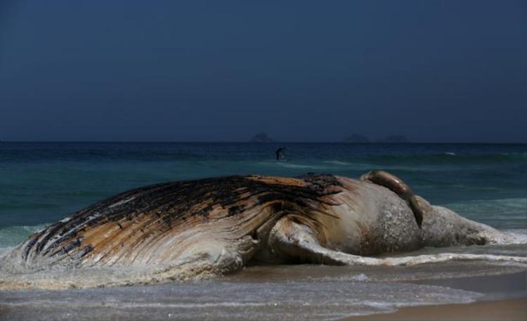 Con cá voi này nặng khoảng 30 tấn và có chiều dài từ 13-15m.