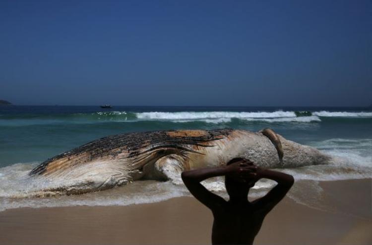 Theo các chuyên gia, con cá voi đã chết cách đây ít nhất một tuần trước khi dạt vào bờ biển Ipanema ở Rio de Janeiro, Brazil.