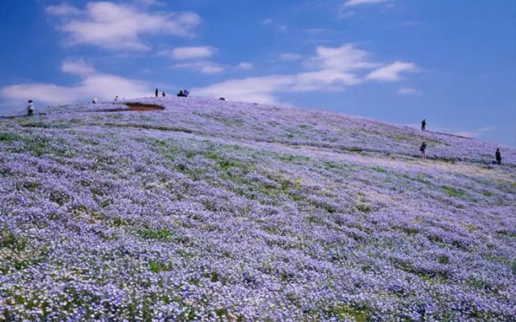 16. Công viên Hitachi Seaside Park, Nhật Bản: Với diện tích khoảng 190 hecta, công viên này luôn được che phủ bởi biển hoa. Nơi đây còn nổi tiếng bởi cánh đồng hoa mắt xanh với 4,5 triệu cây nở đồng loạt vào mùa xuân, tạo nên một khung cảnh choáng ngợp.