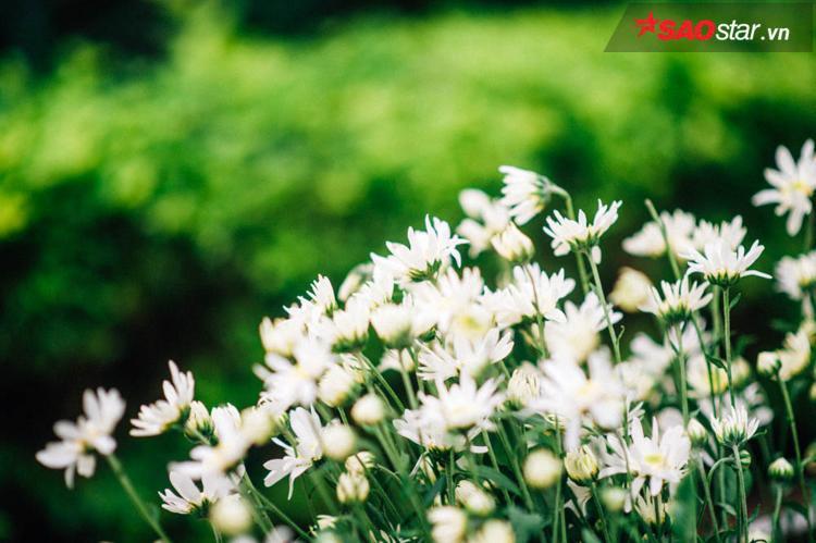 Một thứ hoa trắng muốt, suốt đời chỉ nở để báo đông.