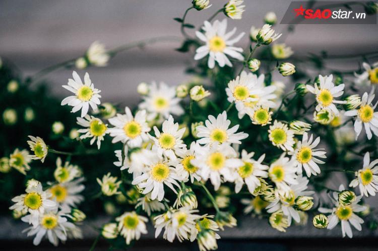 Loài hoa đặc trưng cho mùa đông có một vẻ đẹp riêng không trộn lẫn, là mảnh ghép không thể thiếu trong bức tranh chung về Hà Nội.