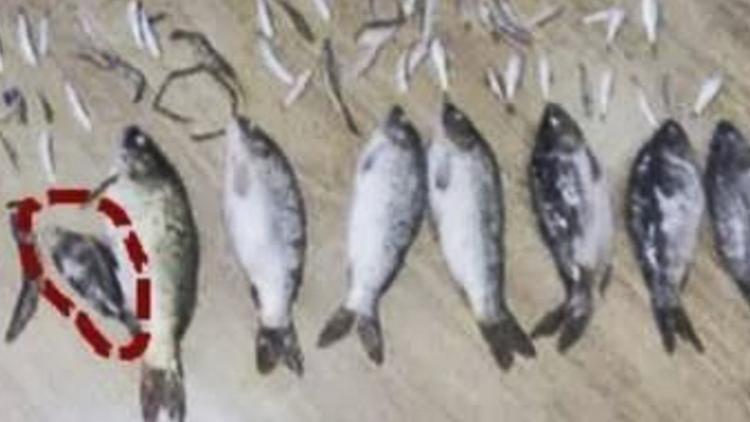 Con cá quý hiếm trong 7 kg cá mà Li và Tang bắt được. Ảnh: SMCP