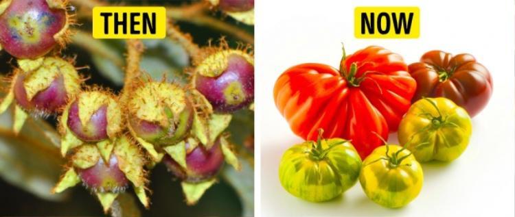 Cà chua đã chứng minh được rằng chúng là loại thực vật tiến hóa thành côn, về cả màu sắc, kích thước, cũng như hương vị.