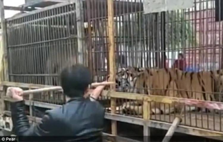 Con vật đáng sợ này bát ngờ ngoạm lấy bàn tay của ông lão và không có ý định nhả ra.