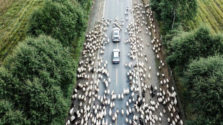 Quý Nam, Trung Quốc: Cừu được chăn thả dọc theo con đường ở Quận Quý Nam, thuộc tỉnh Thanh Hải, Tây Bắc Trung Quốc. Tháng 9 hàng năm là thời gian di chuyển cho các động vật ở Quý Nam.