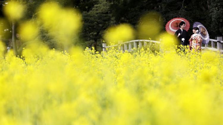 Tokyo:Cô dâu và chú rể trong trang phục truyền thống ở vườn hoa cải dầu Hamarikyu. Những bông hoa này dự kiến sẽ nở hoa cho đến cuối tháng 3.