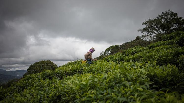 Valle del Cauca, Colombia: Agricola Himalaya sở hữu những vụ chè duy nhất ở Colombia và xuất khẩu sang các thị trường ở Hoa Kỳ và Mỹ La tinh. Ở đây, một nhân viên đang thu hoạch lá chè tại trang trại Bitaco.