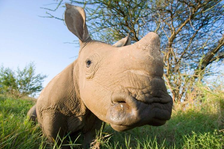Tất nhiên bạn sẽ không thể tiếp cận tê giác đen với khoảng cách gần như vậy.