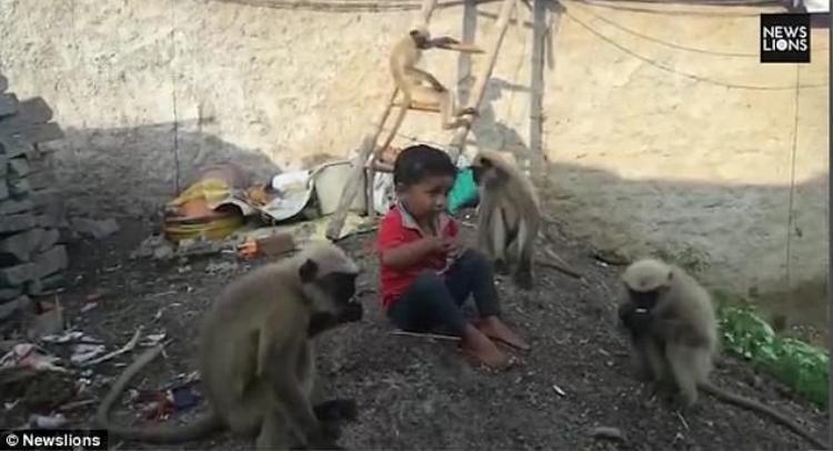 Ngay từ khi 6 tháng tuổi, em bé đã tiếp xúc với đàn khỉ vì vậy chúng rất quý mến cậu bé.