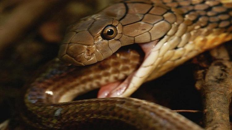 Đây là loài rắn hổ mang sống ở vùng đất thấp, có nọc độc, thường ẩn nấp ở các đồng cỏ.